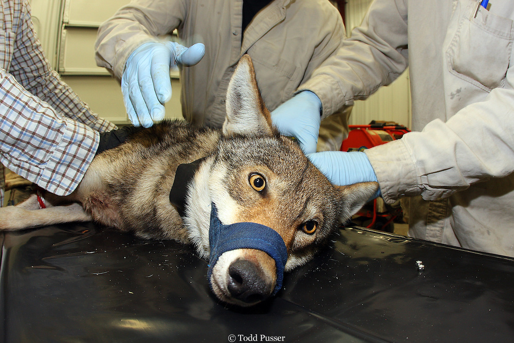 Biologists placing radio tracking collar on endangered red wolf (Canis rufus)  This species was declared extinct in the wild in the 1970s but a small group was maintained in captivity. The species was reintroduced into the wild for the first time in the northeastern coastal plain of North Carolina in 1987.