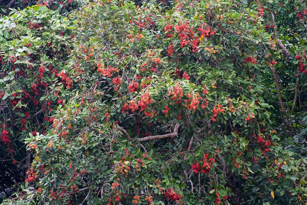 A fruiting Rambutan Tree in Malaysia.