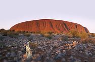 (m) Red Kangaroo,Macropus rufus,Ayers rock, Uluru,Red Center,Northern Teritory,Australia