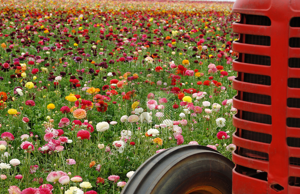 field of flowers with grill of a red tractor in foreground