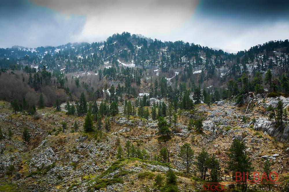 Black Pine trees (Pinus uncinata). <br /> Larra Massif.  Roncal Valley, Pyrennes, Navarre, Spain.