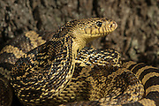 Louisiana Pine Snake (Pituophis ruthveni)<br /> CAPTIVE<br /> The Orianne Indigo Snake Preserve<br /> Telfair County, Georgia<br /> USA<br /> HABITAT &amp; RANGE: Longleaf pine habitats of the southeastern USA. Indigenous to west-central Louisiana and eastern Texas.<br /> IUCN STATUS: ENDANGERED SPECIES