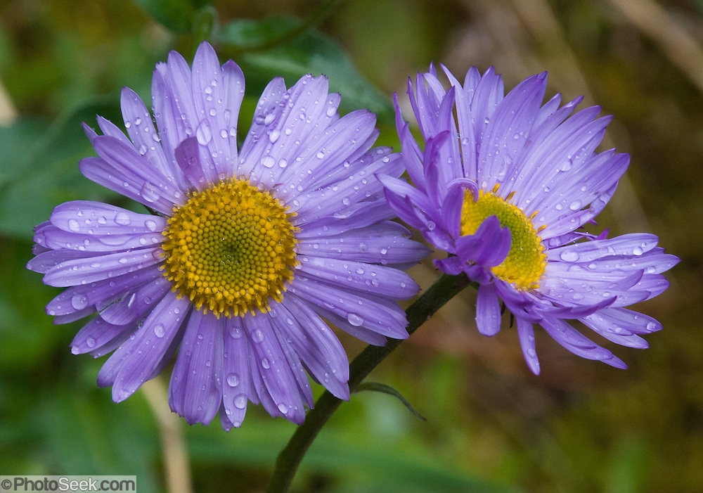 a composite flower aster blooms in british columbia, canada, Beautiful flower