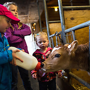 "Etta DeJong, 5, gives milk to a two day old calf with her sisters Tabby, 8, and Mieke, 2, at the DeJong family's diary, Eaglemill Farms, near Lynden. The third generation farm is part of the Darigold farmer-owned cooperative. Farmer Jon DeJong said there is no better way to raise his kids. ""They learn how to work. They get to play and they get to see and touch real animals,"" he said. (Joshua Trujillo, seattlepi.com)"
