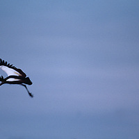 Botswana, Chobe National Park, Gray Crowned Crane (Balearica regulorum) flies along Chobe River at twilight