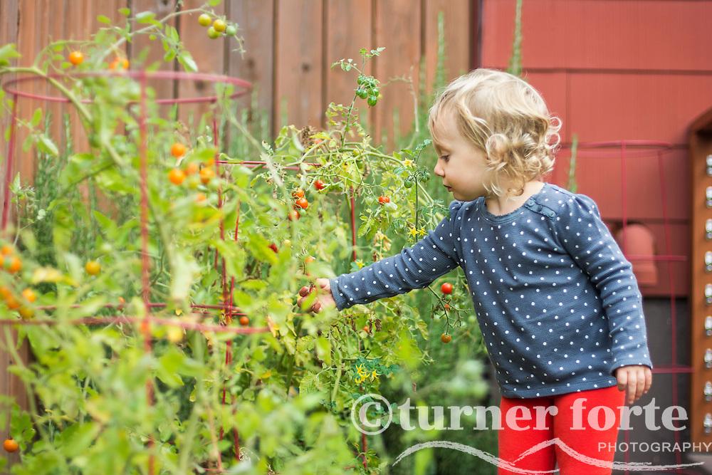 Toddler girl picks fresh cherry tomatoes in home garden, Portland, Oregon.