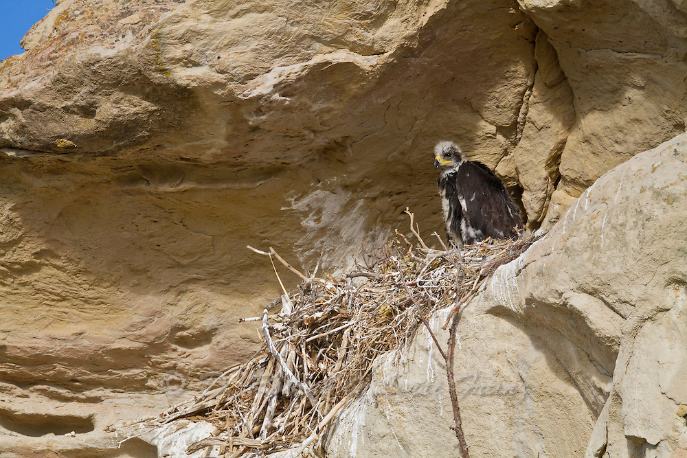 Golden Eagle  chick at 5 weeks of age in Wyoming