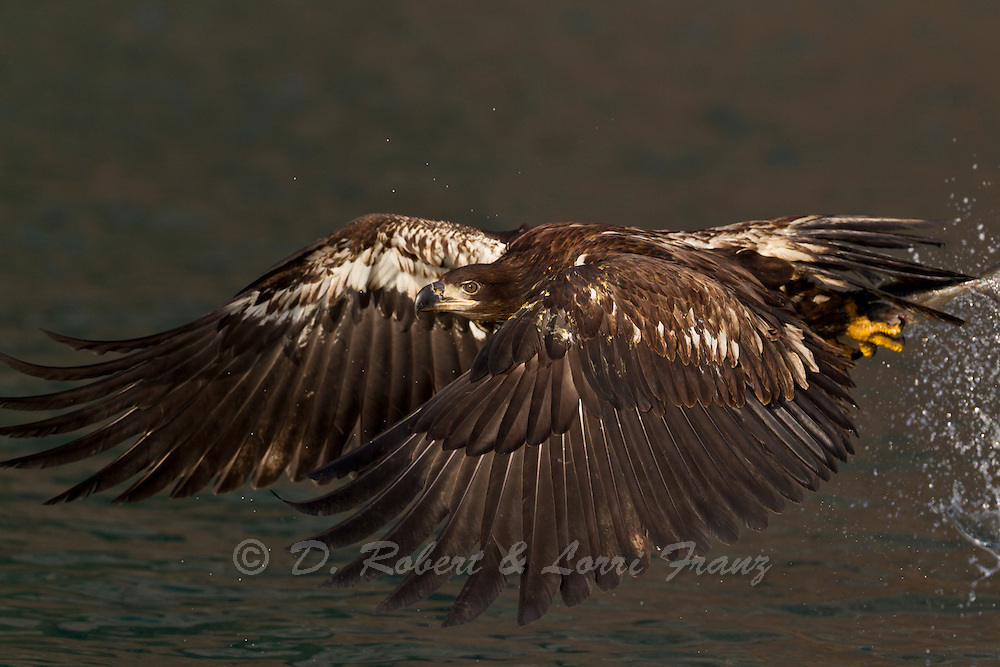 Immature bald eagle in Alaska fishing