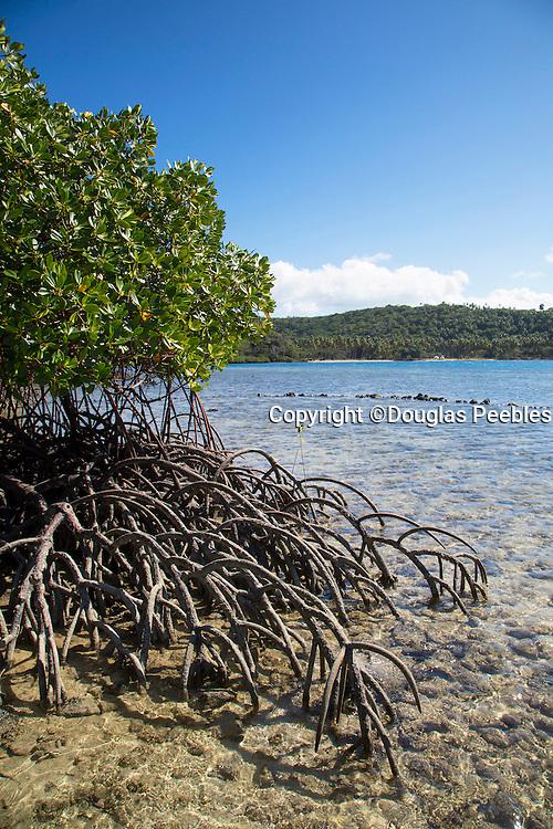 Mangrove plant, Sau Bay, Vanua Levu, Fiji