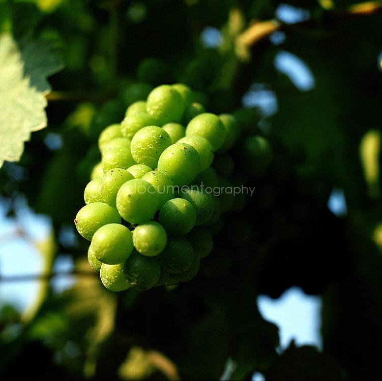 Les vignes du Domaine de La Courtade