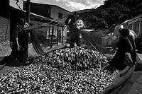 Bolivia -  San Jose - Coripata - raccolta della foglia di coca