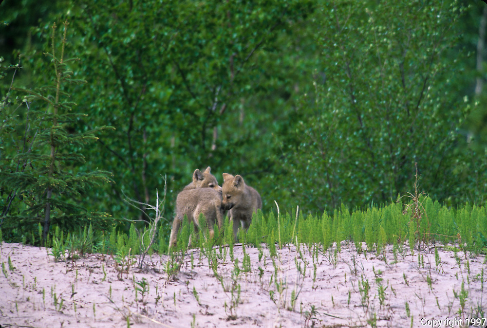 wolf pups at play in the wolf mother and pup at the gray wolf pups ...