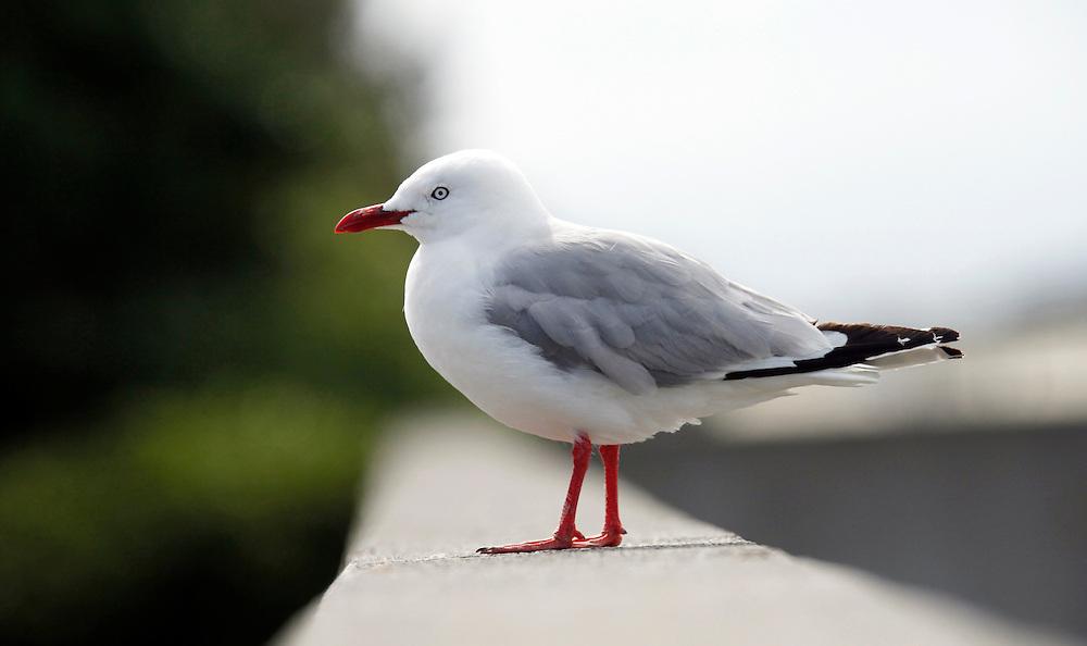 Seagull at Sumer Beach, Christchurch, New Zealand, Thursday, March 01, 2012.  Credit:SNPA / Pam Johnson