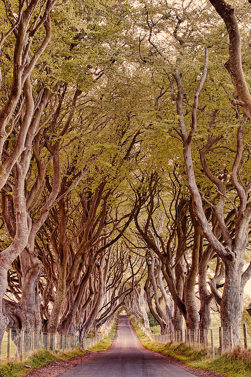 The Dark Hedges is one of the most photographed natural phenomena in Northern Ireland and a popular attraction for tourists from across the world.  It has been painted by hundreds of visiting artists and is a favourite location for wedding photographs.<br /> This beautiful avenue of beech trees was planted by the Stuart family in the eighteenth century.  It was intended as a compelling landscape feature to impress visitors as they approached the entrance to their home, Gracehill House.  Two centuries later, the trees remain a magnificent sight and have become known as the Dark Hedges.