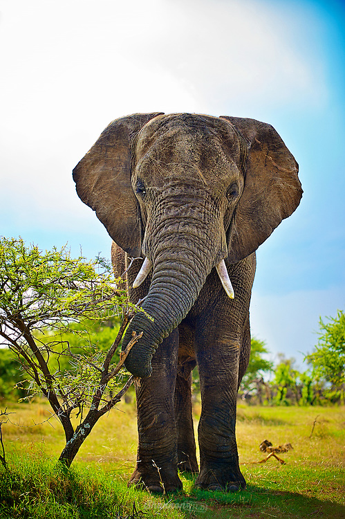 African bush elephants are the largest living terrestrial animals, being up to 3.96 m (13.0 ft) tall at the shoulders (a male shot in 1974). On average, males are 3.3 metres (10.8 ft) tall at the shoulders and 5.5 tonnes (12,130 lb) in weight, while females are much smaller at 2.8 metres (9.2 ft) tall and 3.7 tonnes (8,160 lb) in weight. The most characteristic features of African elephants are their very large ears, which they use to radiate excess heat, and their trunk, an extension of the upper lip and nose with two opposing extensions at its end, different from the Asian elephant, which only has one. The trunk is used for communication and handling objects and food. African elephants also have bigger tusks, large modified incisors that grow throughout an elephant's lifetime. They occur in both males and females and are used in fights and for marking, feeding, and digging.