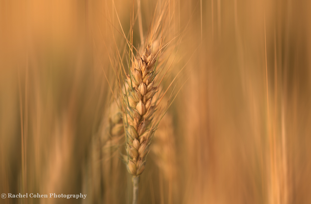 &quot;Sun Streaked Wheat&quot;<br /> <br /> Beautiful golden wheat in soft flowing streams!