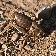 "This may be a ""Mormon Cricket"" (Anabrus simplex), a shieldbacked katydid, in Glacier National Park, Montana, USA."