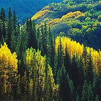 Aspen near Durango, Colorado