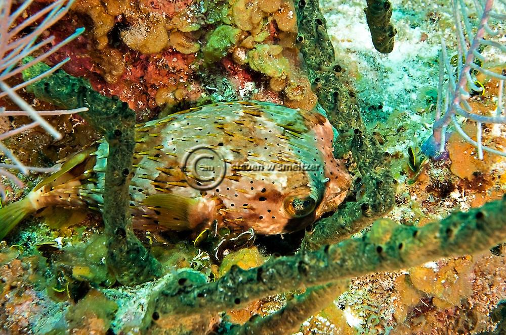 BalloonFish, Diodon holocanthus, north wall, Grand Cayman
