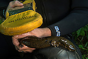 Eastern Hellbender (Cryptobranchus alleganiensis alleganiensis) reading PIT tag<br /> CAPTIVE<br /> Hiwassee River, Cherokee National Forest<br /> Tennessee<br /> USA<br /> HABITAT &amp; RANGE: Clear, fast-flowing streams and rivers of Susquehanna River drainage in southern New York and Pennsylvania, and large portions Missouri, Ohio, and Mississippi River drainages from western Pennsylvania, southern Ohio, extreme southern Indiana, most of West Virginia, Kentucky, and Tennessee, northern Alabama and Georgia, western North Carolina and Virginia.