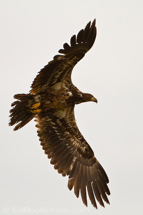 immature Bald Eagle (Haliaeetus leucocephalus) (Halietus leucocephalus) flies over Hood Canal in Puget Sound Washington, USA