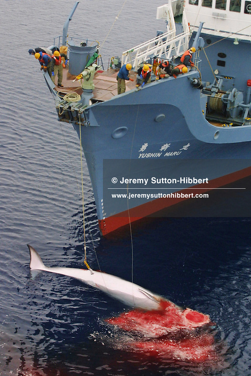 An Antarctic Minke whale lies dead below the bow, and harpoon deck, of the 'Yushin Maru', a Japanese whale catcher ship, prior to its transfer to the Japanese whale factory ship 'Nishin Maru'. The whale is one of 440 that the whalers will kill in their annual hunt.