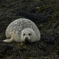 Female common seal (aka harbour or harbor seal) Phoce vitulin, hauled out, Isle of Skye, Scotland.