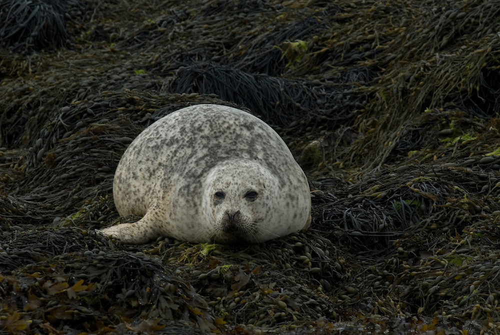 Female common seal (aka harbour or harbor seal) Phoce vitulin, hauled out, Isle of Skye, Scotland.