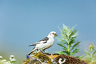 Snow Bunting (Plectrophenax nivalis) gathers a mouthful of insects for feeding its chicks on St. Paul Island in Southwest Alaska. Summer. Morning.
