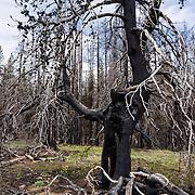 Burnt tree. Table Mountain Trail #1209, Blewett Pass, Wenatchee National Forest, Washington, USA