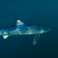 Blue shark, Prionace glauca.  A female blue shark swimming close to the surface off Southwest Cornwall, UK.  Blue sharks are easily recognisable by their slender form, long pectoral fins and vivid blue colour.  Like many shark species they are counter-coloured, blue on their backs and white below.  Blue sharks are found off Southwest Britain between July and October.  For reasons that are still not fully understood it is most females that are seen in British waters.  Female blue sharks can be recognised by the absence of of claspers on their belly; sexually mature female blues will often have prominent scars of their head, neck and back.  These are mating scars causing by bites from the male blue shark during mating.  Blue sharks are found in all major oceans, in temperate and tropical waters.