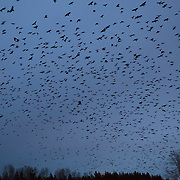 Thousands of American crows (Corvus brachyrhynchos) in a large flock known as a murder fly over Bothell, Washington, at dusk. An estimated 10,000 crows roost in a small area in the city each night.