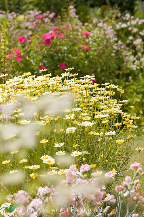 Anthemis E C Buxton is a July border at Bluebell Cottage Gardens, Cheshire