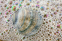 Clam shell surounded by ocean bubbles on the beach  in Corolla, NC.