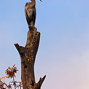 A Great Blue Heron (Ardea herodias) sits at the top of a snag in the Hoh Rain Forest in Washington's Olympic National Park.
