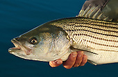 Striped Bass Stock Photos