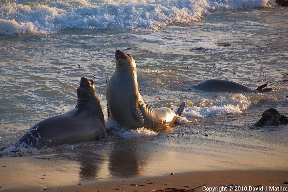 Elephant Seals at Piedras Blancas Beach, Central California Coast. Image taken with a Nikon D3x and 70-300 mm VR lens (ISO 400, 300 mm, f/8, 1/200 sec).
