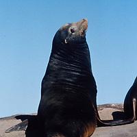Large male California Sea Lion, Bull