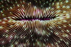 Mushroom coral (Fungia sp. ) Raja Ampat, West Papua, Indonesia, Pacific Ocean   Pilzkoralle (Fungia sp. ) Raja Ampat, West Papua, Indonesien, Pazifischer Ozean