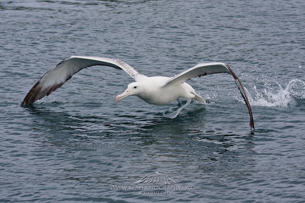 Southern Royal Albatross getting ready to fly.  Otago Peninsula, New Zealand.