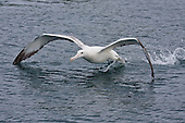Southern Royal Albatross Pictures - Photos