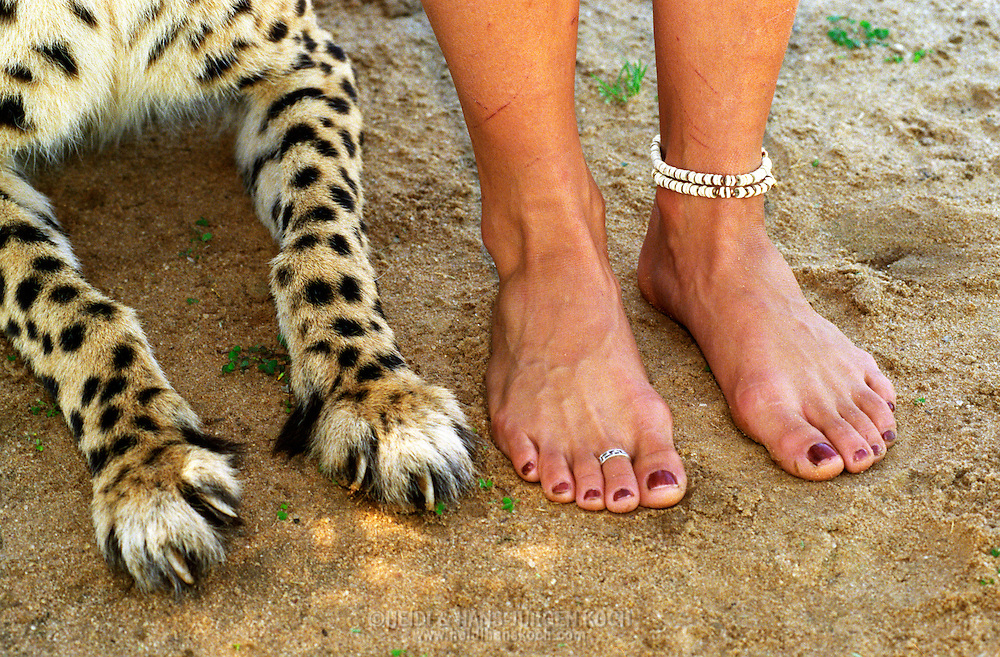 "Pfoten eines Geparden, Acinonyx jubatus und Fuesse der Farmerstocher Marlice van der Merwe, Harnas Farm, Namibia, paws of Cheetah ""Gouters"", Acinonyx jubatus, beside the feet of the farmers daughter Marlice van der Merwe, Harnas Farm, Namibia"
