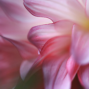 &quot;Ghost Dahlia&quot;<br /> <br /> A lovely and flowing pink and white Dahlia swaying in the wind!