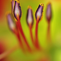 Red tiger lily abstract flower photography artwork from my flower photography collection at Roth Galleries.<br /> <br /> This abstract flower photography image isolated from a bunch of red lilies is available as museum quality photography prints, canvas prints, acrylic prints or metal prints. Prints may be framed and matted to the individual liking and decorating needs:<br /> <br /> http://juergen-roth.pixels.com/featured/you-can-be-my-luck-juergen-roth.html<br /> <br /> All flower photos are available for image licensing at www.RothGalleries.com. Please contact me direct with any questions or request.<br /> <br /> Good light and happy photo making!<br /> <br /> My best,<br /> <br /> Juergen<br /> Image Licensing: http://www.RothGalleries.com <br /> Fine Art Prints: http://juergen-roth.pixels.com<br /> Photo Blog: http://whereintheworldisjuergen.blogspot.com<br /> Twitter: https://twitter.com/naturefineart<br /> Facebook: https://www.facebook.com/naturefineart <br /> Instagram: https://www.instagram.com/rothgalleries