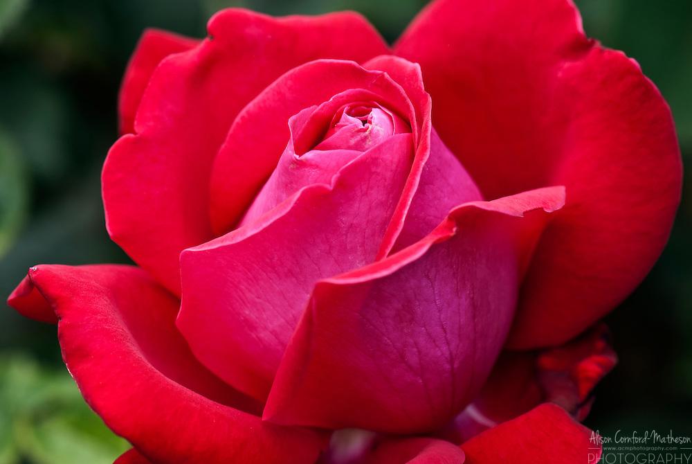 Rose Dame de Coeur