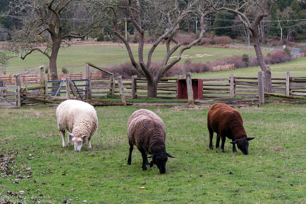 Sheep grazing in the orchard at Ruckle Farm. Photographed in Ruckle Provincial Park on Salt Spring Island, British Columbia, Canada.