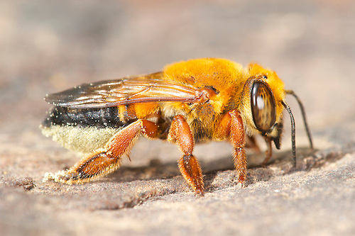 Related Keywords & Suggestions for megachilidae