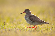 Redshank (Tringa totanus) backlit in meadow, Western Isles, Scotland.
