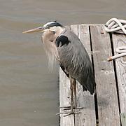 Great Blue Heron on boat dock
