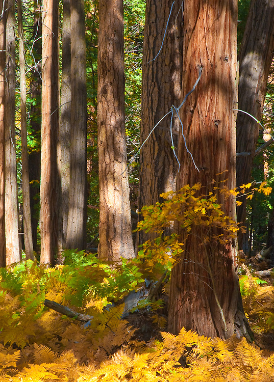 sequoias and yellow fall ferns taken in yosemite valley during a sunny day